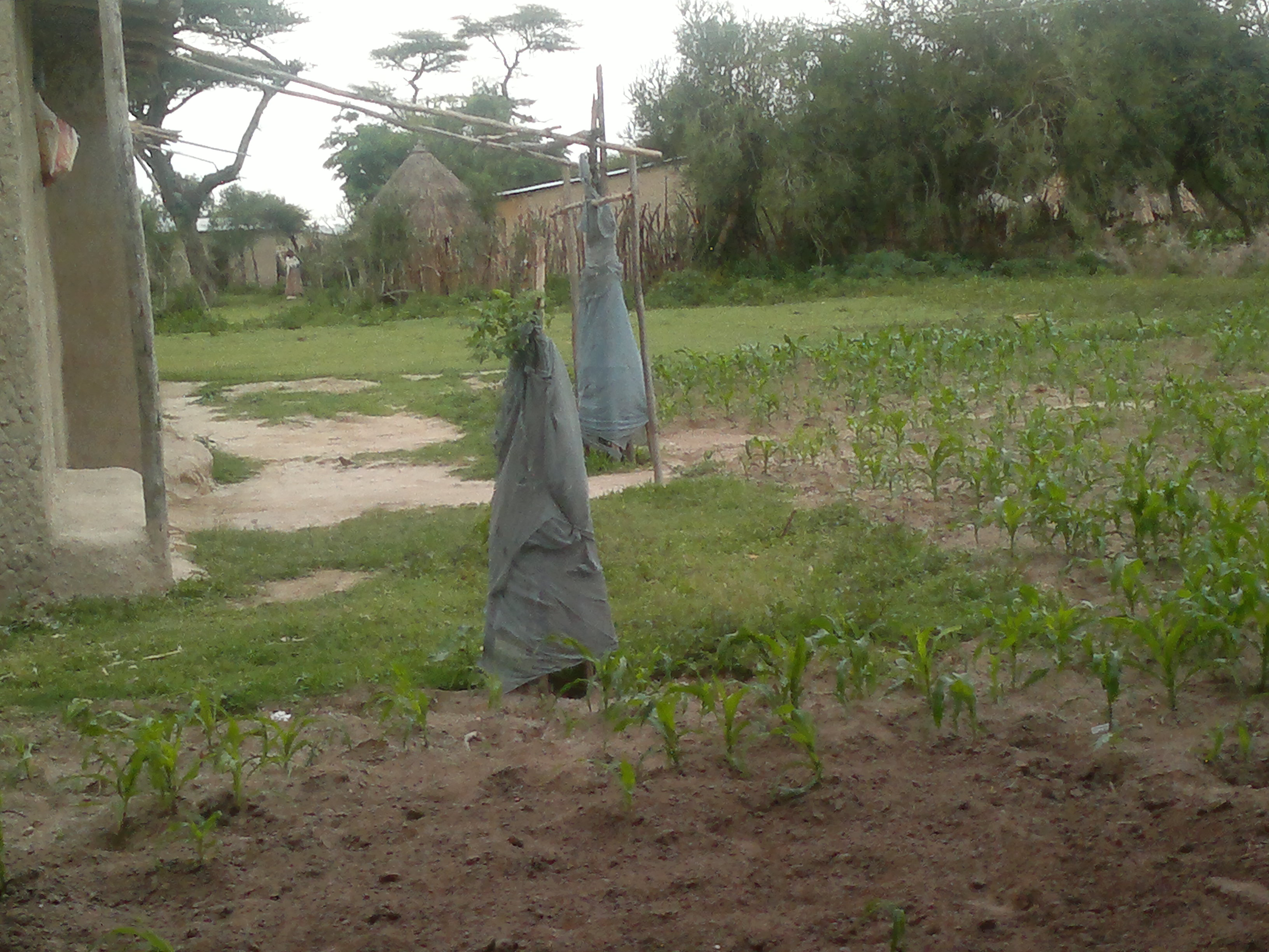 Bednets used to keep bugs or cattle away from trees